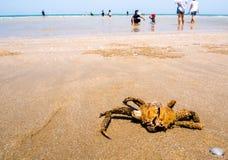 Den torkade röda grodakrabban på stranden Fotografering för Bildbyråer