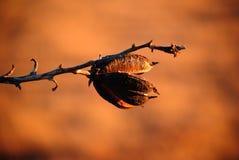 Den torkade yuccaen kärnar ur fröskidan Royaltyfri Foto