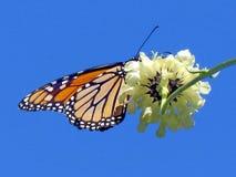 Den Toronto höjdpunkten parkerar monark- och vitverbenablomman 2013 royaltyfria bilder