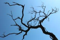 Den torra akacian förgrena sig på den blåa himlen för bakgrund Arkivbild