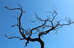 Den torra akacian förgrena sig på den blåa himlen för bakgrund Fotografering för Bildbyråer