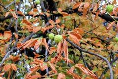 Den torra apelsinen lämnar det kastanjebruna trädet i höst Arkivbild