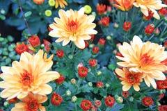 Den trädgårds- apelsinen blommar i Baden Fotografering för Bildbyråer
