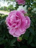 den trädgårds- pinken steg Royaltyfri Fotografi