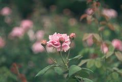 den trädgårds- pinken steg Arkivfoto