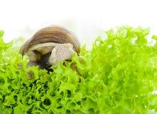 Den trädgårds- snigeln äter grönsallatsidor Arkivbilder