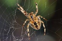 Den trädgårds- spindeln reparerar dess rengöringsduk royaltyfria foton