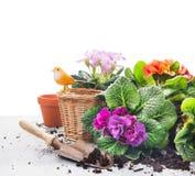 den trädgårds- uppsättningen med primulan blommar, krukor och skopan på den gråa trätabellen, vit bakgrund Royaltyfri Bild