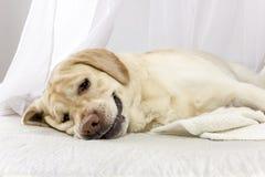 Den trötta hunden ligger på sängen arkivfoto