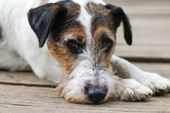 Den trötta hunden, når den har gått - den ledsna hunden - Dog ståenden arkivfoto