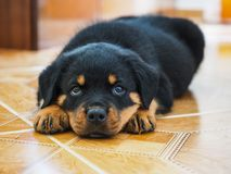 Den trötta Rottweiler valpen arkivfoton