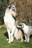 Den trevliga hunden av Collie Smooth skrämde av barnuppfostran Royaltyfri Foto