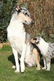Den trevliga hunden av Collie Smooth skrämde av barnuppfostran Arkivbild