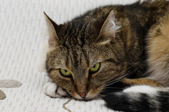Den trevliga katten med gräsplan synar Royaltyfri Foto