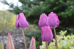 Den trevliga purpurfärgade tulpan gareden på Fotografering för Bildbyråer