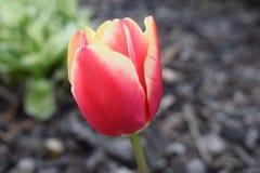 Den trevliga röda tulpan gareden på Arkivfoton