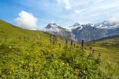 Den trevliga sikten med blått blommar på en bakgrund av berg schweizare Arkivfoton