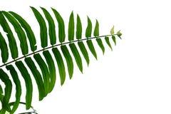 Den Tropica ormbunken lämnar på vit isolerad bakgrund royaltyfri foto