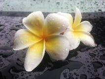 Den tropiska blommafrangipanien är våt med regndroppe på den skinande svarta tabellen royaltyfria bilder