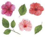 Den tropiska blommavattenfärgen ställde in den botaniska illustrationhibiskusen vektor illustrationer