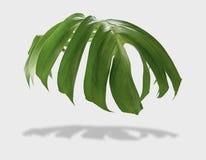 Den tropiska djungelmonsteraen lämnar isolerat på grå bakgrund med fotografering för bildbyråer