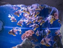 Den tropiska fisken simmar i akvarium i Kiev arkivbild