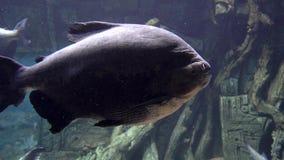 Den tropiska fisken stänger sig upp vatten- liv för undervattens- ljus färg lager videofilmer