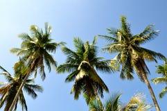 Den tropiska kokosnöten gömma i handflatan och ljus blå himmel arkivfoto