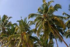 Den tropiska kokosnöten gömma i handflatan på stranden i Sri Lanka solig bakgrundssky royaltyfri foto