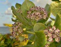 Den tropiska milkweeden är en medlem av asclepiadaceaen för milkweedfamiljen royaltyfri fotografi