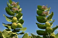 Den tropiska milkweeden är en medlem av infödingen för asclepiadaceaen för milkweedfamiljen till det karibiskt, Sydamerikaet, Cen royaltyfri foto