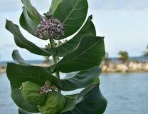 Den tropiska milkweeden är en medlem av infödingen för asclepiadaceaen för milkweedfamiljen till det karibiskt, Sydamerikaet, Cen arkivfoton