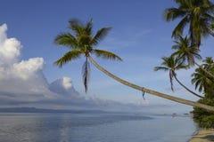 Den tropiska paradisökokosnöten gömma i handflatan Arkivfoto