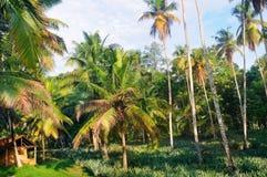 Den tropiska trädgården med kokosnöten gömma i handflatan och en ananaskoloni royaltyfri fotografi