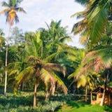 Den tropiska trädgården med kokosnöten gömma i handflatan och en ananaskoloni royaltyfria foton