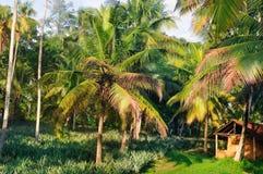 Den tropiska trädgården med kokosnöten gömma i handflatan och en ananaskoloni fotografering för bildbyråer