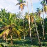 Den tropiska trädgården med kokosnöten gömma i handflatan och en ananaskoloni arkivbild