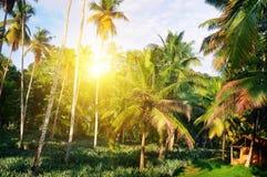 Den tropiska trädgården med kokosnöten gömma i handflatan och en ananaskoloni S royaltyfria foton