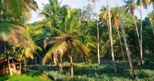 Den tropiska trädgården med kokosnöten gömma i handflatan och en ananaskoloni S royaltyfri fotografi