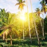 Den tropiska trädgården med kokosnöten gömma i handflatan och en ananaskoloni S fotografering för bildbyråer