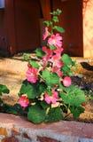 Den tropiska växten med härliga stora rosa färger blommar som en del av gard Royaltyfri Bild