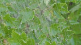 Den tungt regn, regndroppar, vinbäret Bush med gröna bär och regn för sommar sprutar ut arkivfilmer