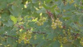 Den tungt regn, regndroppar, vinbäret Bush med gröna bär och regn för sommar sprutar ut stock video