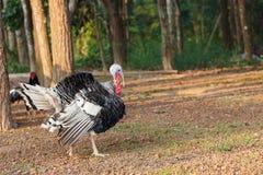 Den Turkiet fågeln går i den ljusa morgonen Royaltyfri Foto