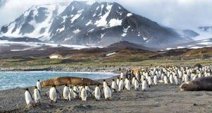 Den tusentals konungen Penguins kör från Kabaltic vindar i St Andrews Bay, södra Georgia Arkivbild