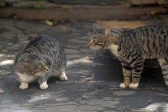 Den två gjorde randig katten grälar arkivfoto