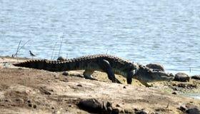 Den typiska höjdpunkten går av krokodil Royaltyfri Foto