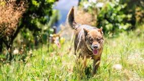 Den tyska herden är en avel av medlet till denstorleksanpassade funktionsdugliga hunden som påbörjade i Tyskland Royaltyfria Foton