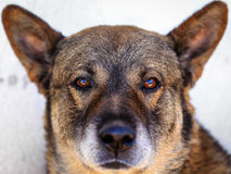 Den tyska herden är en avel av medlet till denstorleksanpassade funktionsdugliga hunden som påbörjade i Tyskland Fotografering för Bildbyråer