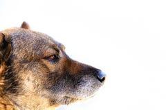 Den tyska herden är en avel av medlet till denstorleksanpassade funktionsdugliga hunden som påbörjade i Tyskland Arkivfoto